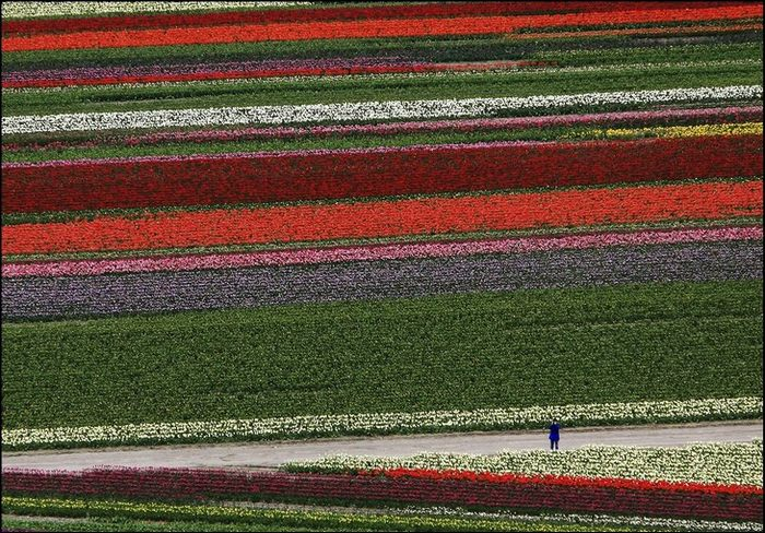tulip-fields04.jpg