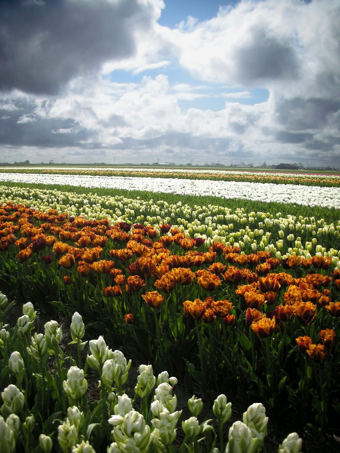 tulip-fields07.jpg