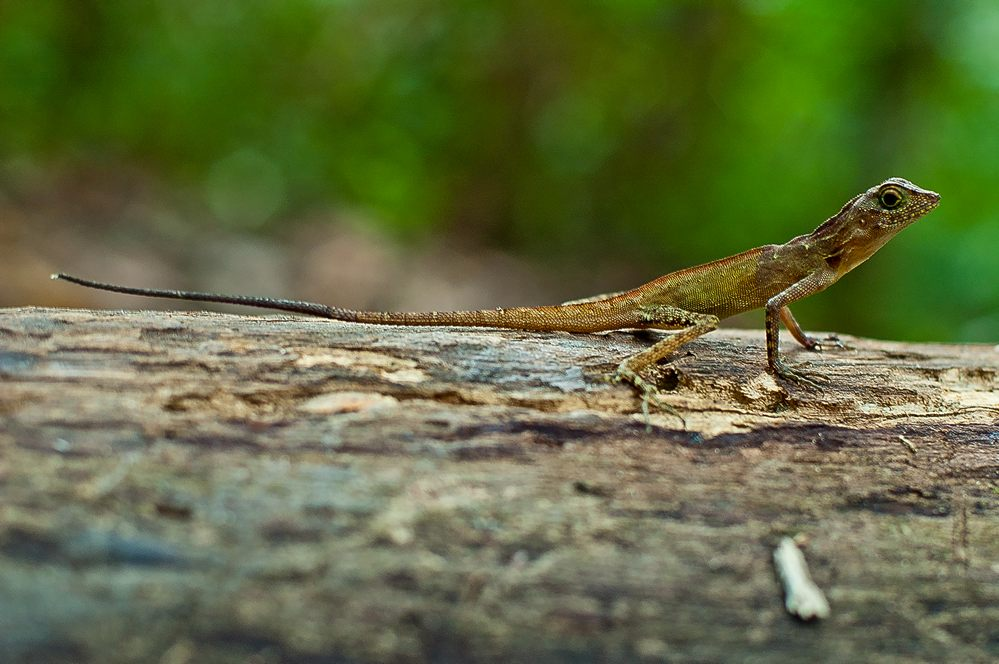 andaman lizards