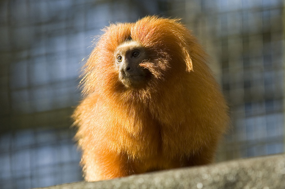 golden-lion-tamarin-2.jpg