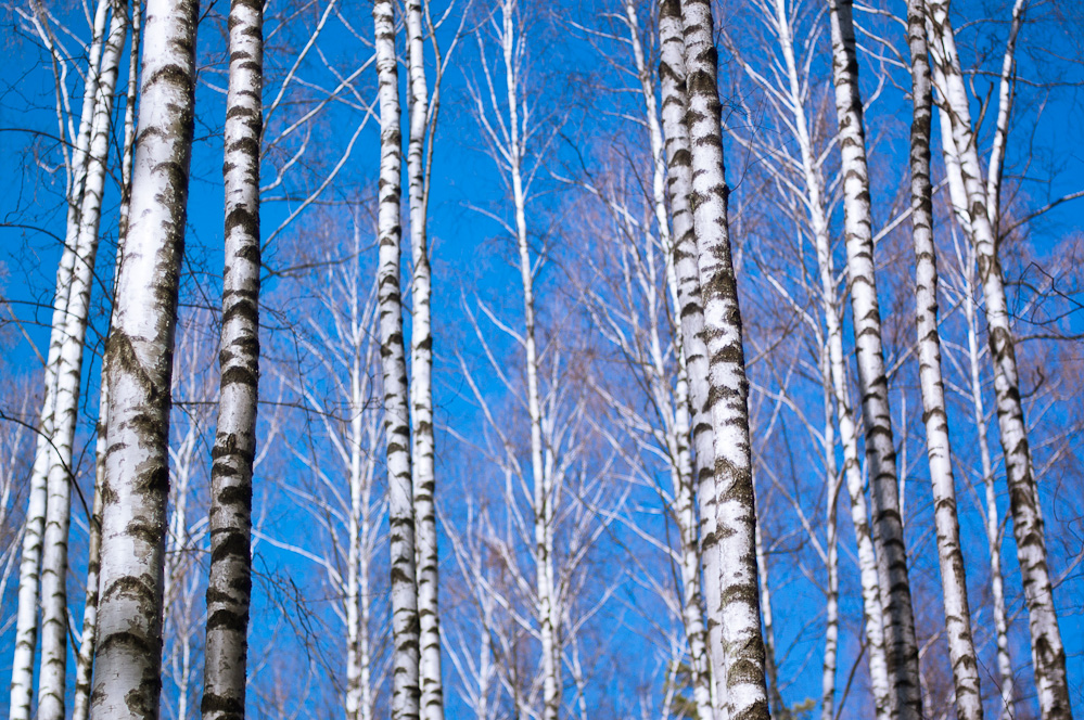 birch-allegory-1.jpg