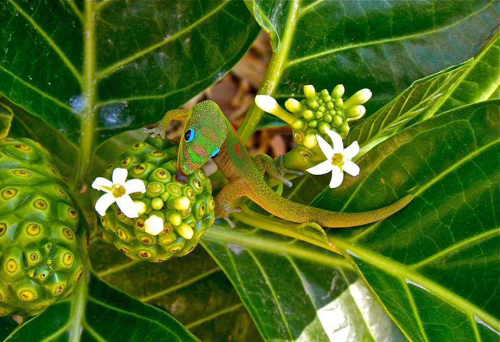 Madagascar-Gold-Dust-Day-Gecko.jpg