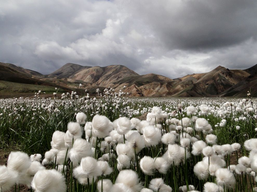 cotton-grass-iceland.jpg