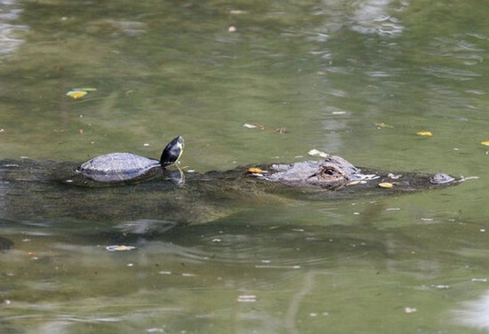 crocodile-and-turtle03.jpg
