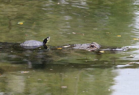 crocodile-and-turtle05.jpg
