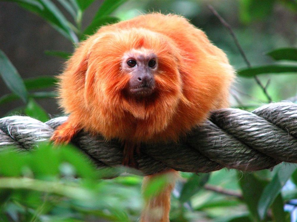 golden-lion-tamarin-7.jpg