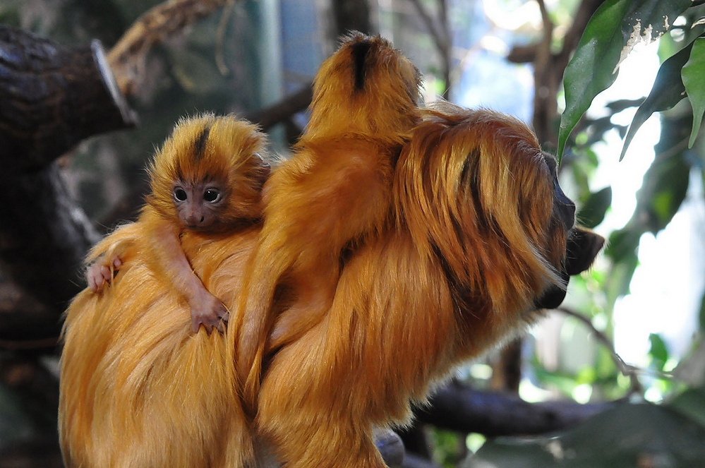 golden-lion-tamarin-9.jpg
