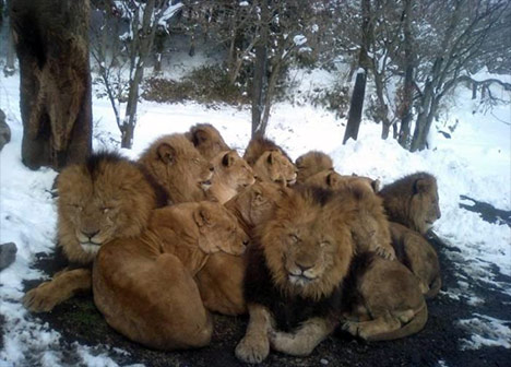 http://greenword.ru/images/lions-cold.jpg