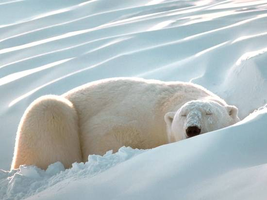 sleeping-polar-bear.jpg