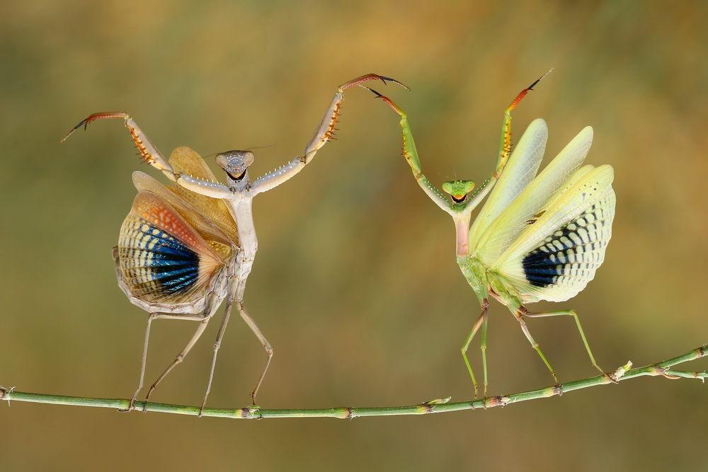 mantises.jpg